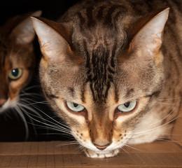 Bengal cat peering through cardboard box
