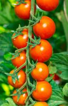 Świeże pomidory czereśniowe i organiczne w ogrodzie