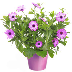Pot with violet african daisy (Dimorphoteca, Osteospermum) flowe