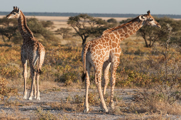 Baby giraffes in the Etosha national park in Namibia