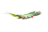 Flying big green ringed or Alexandrine parakeet