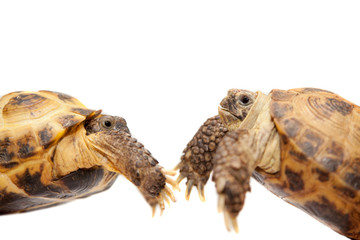 Pair of Russian Tortoises or Central Asian tortoises