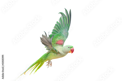 Big green ringed or Alexandrine parakeet