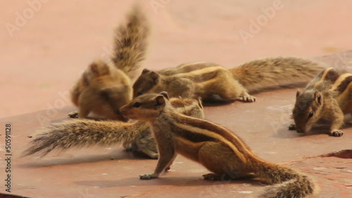 group of feeding chipmunks in India