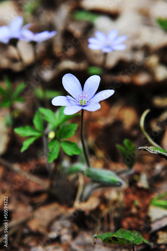 Blossoming hepatica