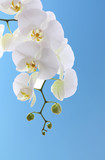 White orchid on blue sky