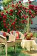 Beautiful climbing rose on the terrace