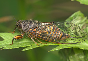 Insect a cicada