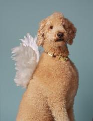 angelic beige poodle
