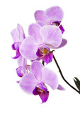 Fototapety Light purple orchid isolated on white