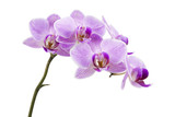 Light purple orchid isolated on white