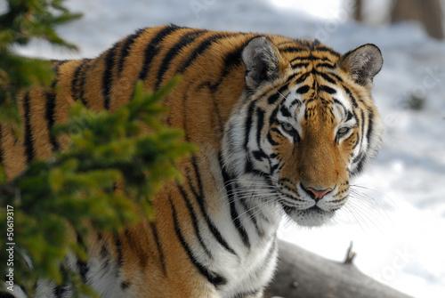 Sibierischer Tiger