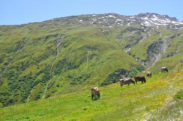 Cows at Furka pass, Switzerland