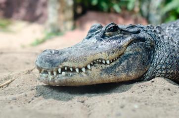 Ein Krokodil im Profil