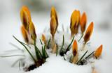 Yellow crocus (Crocus flavus) in the snow poster
