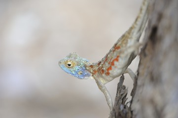 Tree Agama in the Kalahari desert