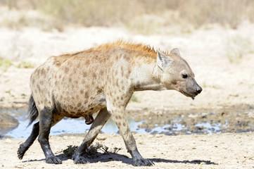 Spotted Hyaena (Crocuta crocuta) at waterhole, Kalahari desert
