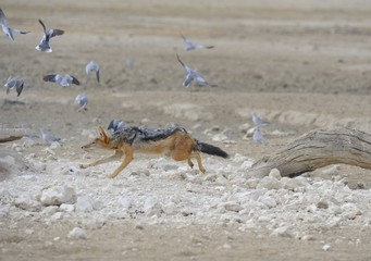 Black backed Jackal (Canis mesomelas) sequence of  hunting doves