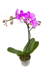 Pink orchid in the pot isolated