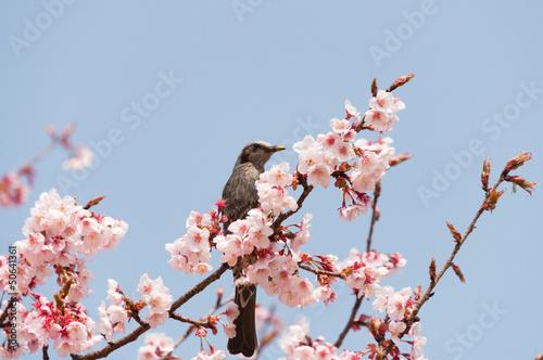 ヒヨドリと寒桜