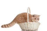 Exotic shorthair cat. Adorable  kitten with basket on white back