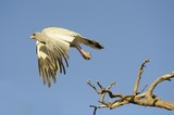 Pale Chanting Goshawk (Melierax canorus) in flight