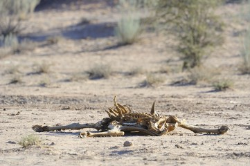 Eland carcass in the kalahari desert