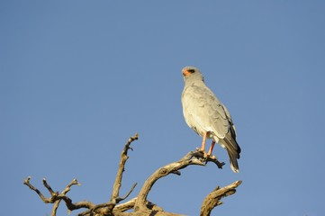 Pale Chanting Goshawk (Melierax canorus) on hunting perch