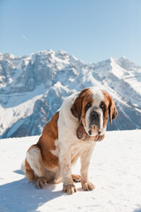 Big sint bernard dog in snow mountain landscape.