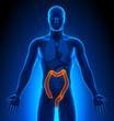 Medical Imaging - Male Organs - Colon