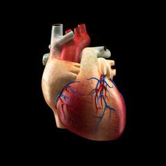 Real Heart Isolated on black - Human Anatomy model