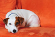 canvas print picture - Jack Russel auf Couch