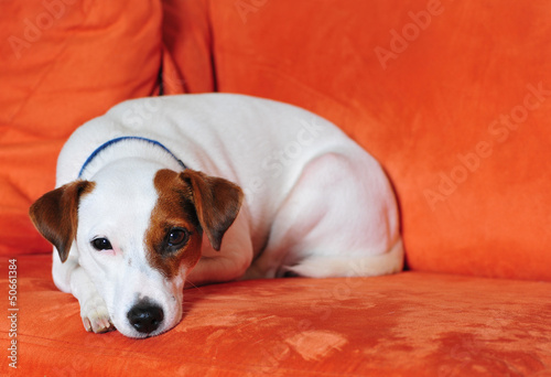 canvas print picture Jack Russel auf Couch
