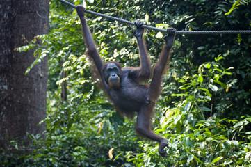 Orangutan hangs from Rope