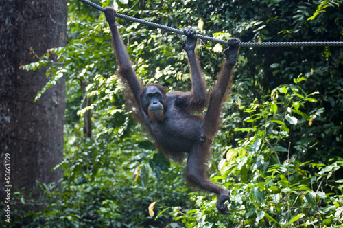 Orangutan hangs from Rope