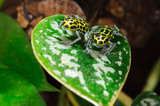 Ranitomeya imitator is a poison dart frog native to Peru