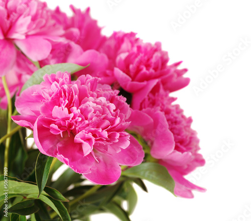 Pink peony flowers isolated on white