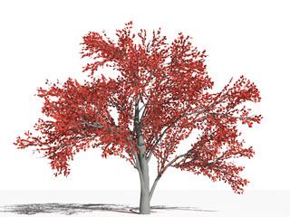 Ирга (Amelanchier arborea) в осенний период на белом фоне