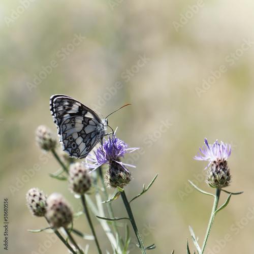 Butterfly feeding in flowers