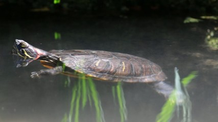 turtle swimming in  apond
