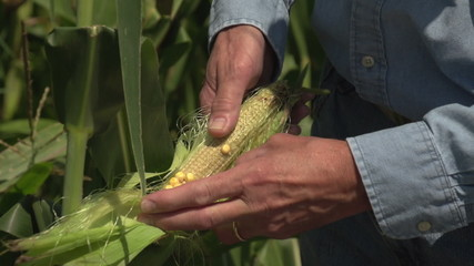 Farmer inspecting poor corn crop, close up