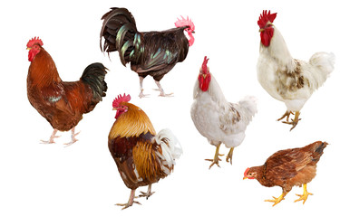 six isolated roosters
