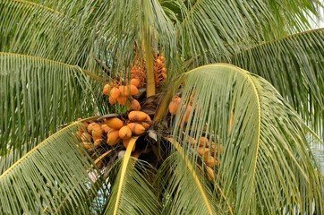 Yellow unripe coconuts on tree