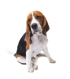 face of beagle dog on white background