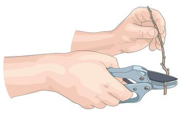 Hands of the gardener.