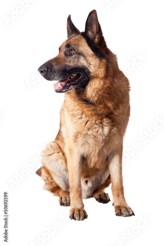 german shepherd on white