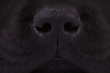 nose of a black labrador retriever puppy dog