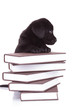 labrador retriever standing with its paws on a pile of books