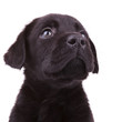 labrador retriever puppy dog looking up