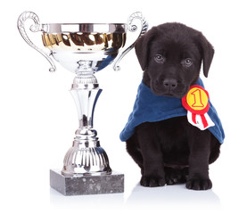 labrador retriever puppy dog sitting near a big trophy